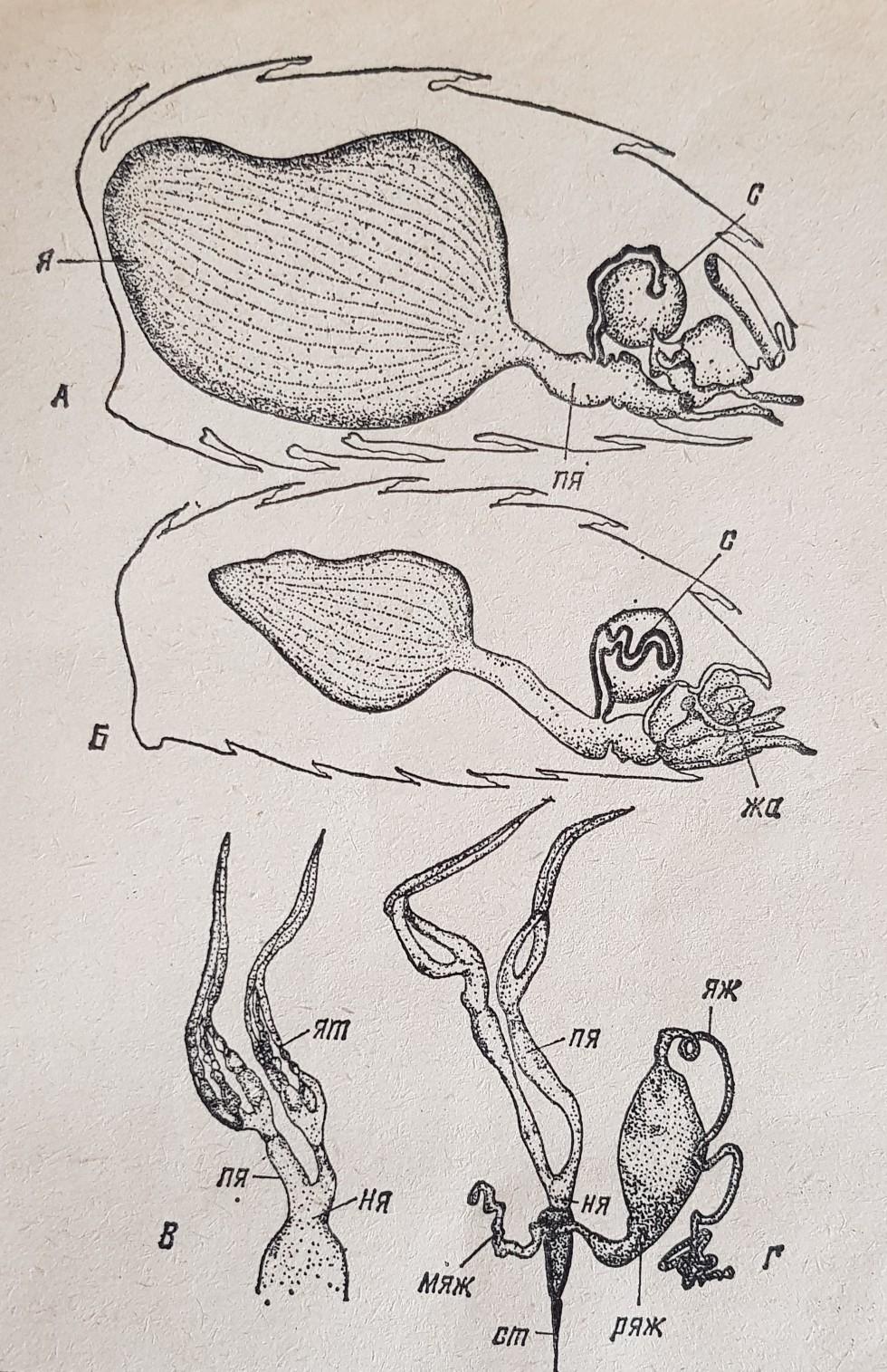 Половые органы матки
