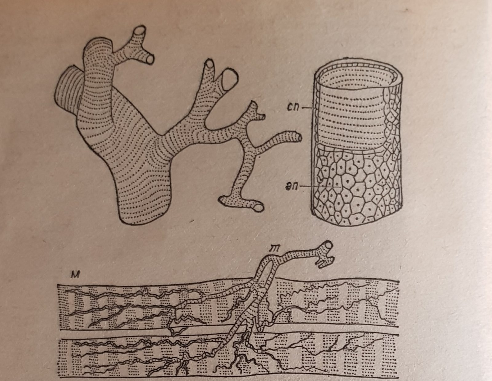 Трахейная система пчелы