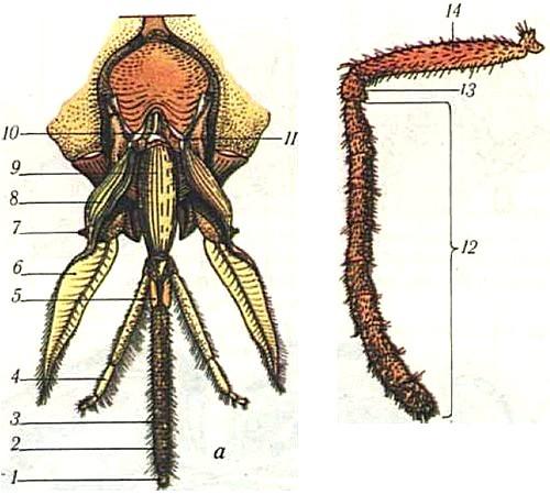 Хоботок пчелы
