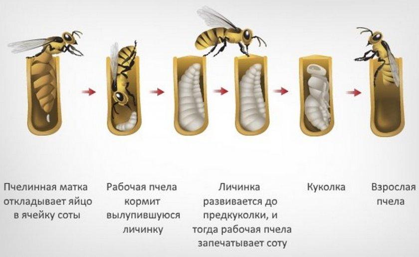 Личинка рабочей пчелы