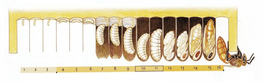 Размер пчелиных личинок разного возраста