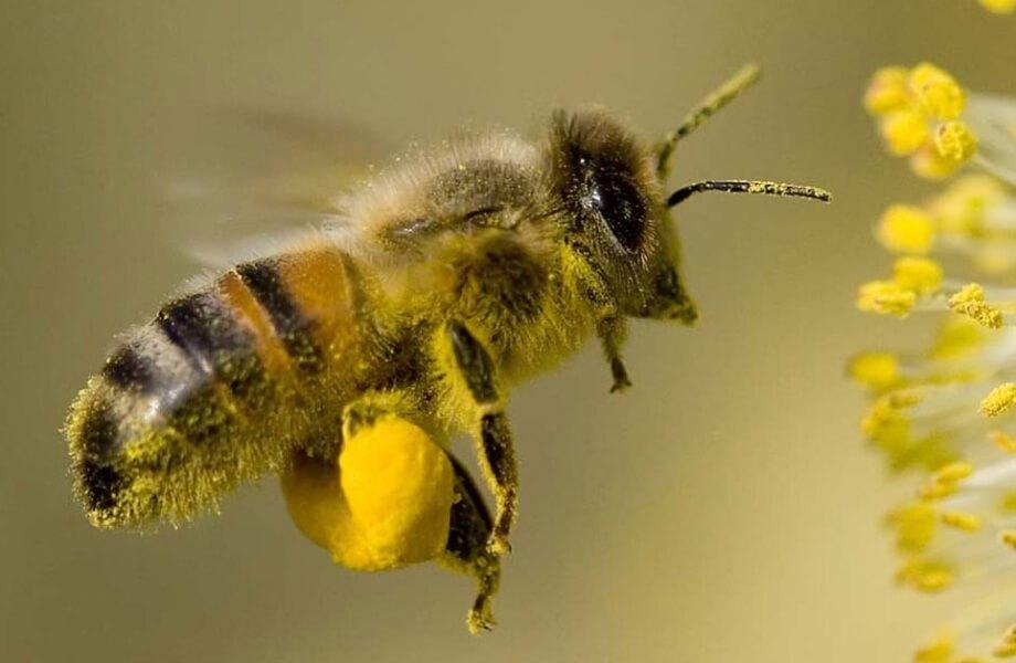 Обножка на задней ножке пчелы