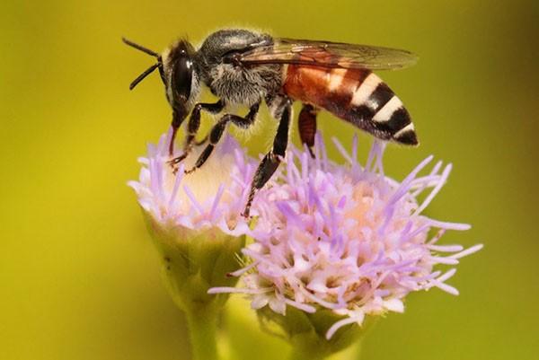 Пчела карликовая (апис флореа)