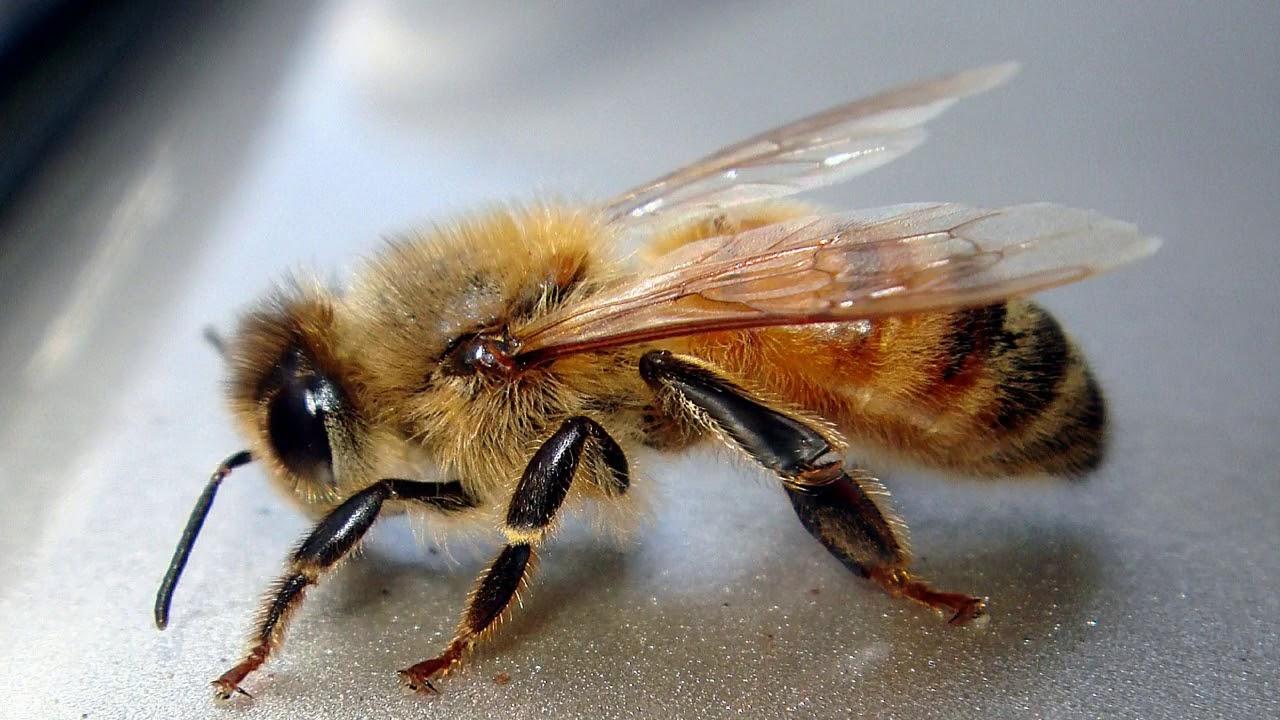 Пчела медоносная (апис меллифера)