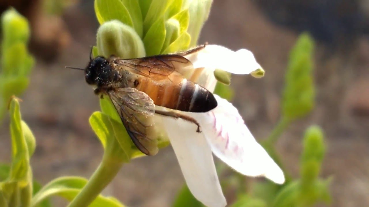Пчела индийская (апис церана индика)